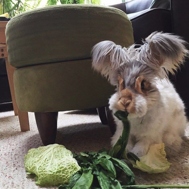 Wally is the cutest English Angora rabbit ever. l #wallyandmolly #instagram #star