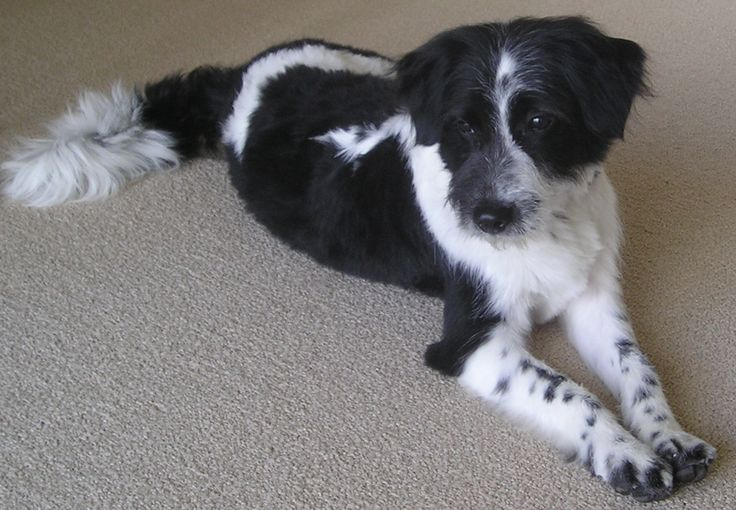 Border collie terrier mix.. look at that fluffy tail ...