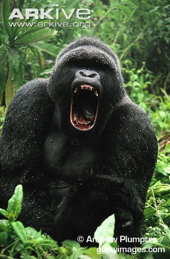 angry silverback gorilla images - Google Search | For ...