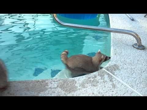 Szétaggódja magát a mosómedve a medencében úszkáló testvéréért- videó   Cool.hu