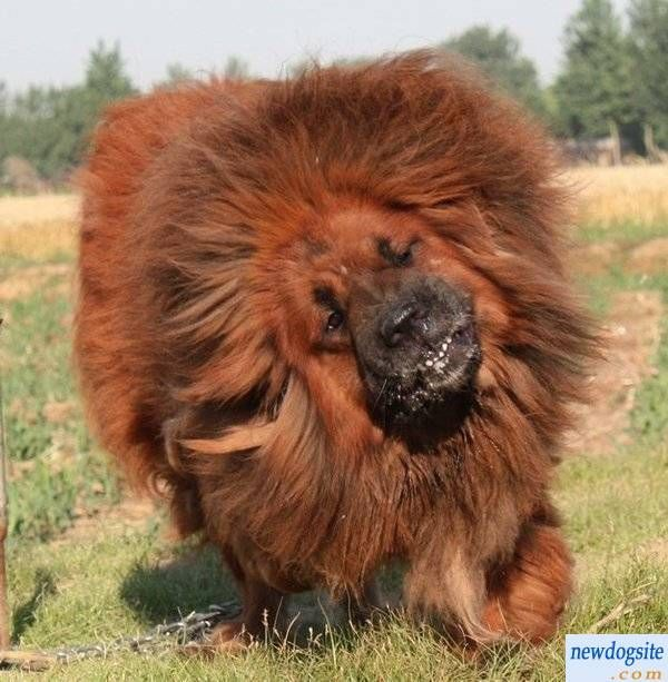 Best Red Tibetan Mastiff Ideas On Pinterest Tibetan Mastiff - Homeless dog found on the streets becomes a lion in this epic photoshoot