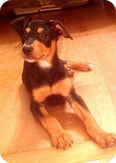 Denton, TX - Rottweiler/Miniature Pinscher Mix. Meet Bear II, a puppy for adoption. http://www.adoptapet.com/pet/11362357-denton-texas-rottweiler-mix