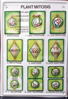 Image result for mitosis diagram in plants   Mitosis ...