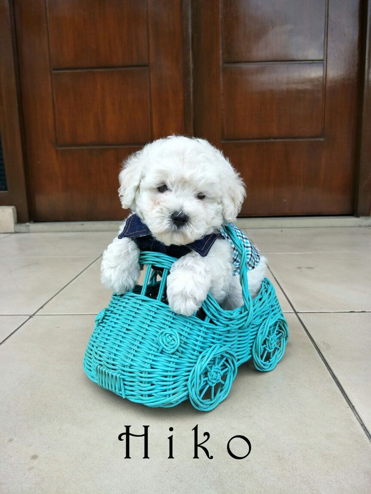 For Sale Puppies White Toy Poodle