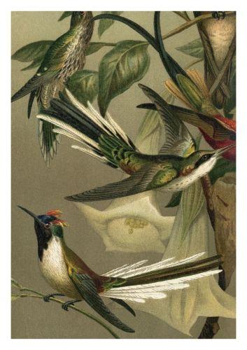 Eksotisk MEGA-plakat med botanisk fugletrykk fra The Dybdhal. Orginalbilde er fra tidlig 1800-tallet, og har blitt lett restaurert og digitalisert.Vakker poster som vil gi hjemmet en tropisk og botanisk atmosfære.Størrelse og materiale: 112x158 cm.Plakaten er printet på matt papir.