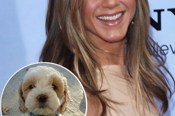 """Thank you, Jennifer Aniston, for giving us an excuse to use the word """"cockapoo"""" - 3am & Mirror Online  Spoodle, Cockerpoo, Cockapoo, Oodle, Poodle Hybrid, Poodle Mix, Doodle, Dog, Puppy pinned by myoodle.com"""