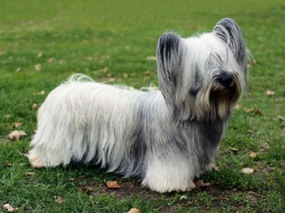 Skye Terrier ... This adorable dog was bred about 400 years ago to be a rodent exterminator! And very successful at his job he was (and is, presumably!)!!! :)