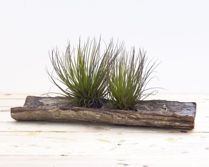 Terra Magnus #Tillandsia #Airplants #Design #Tropical #Forest #Collection
