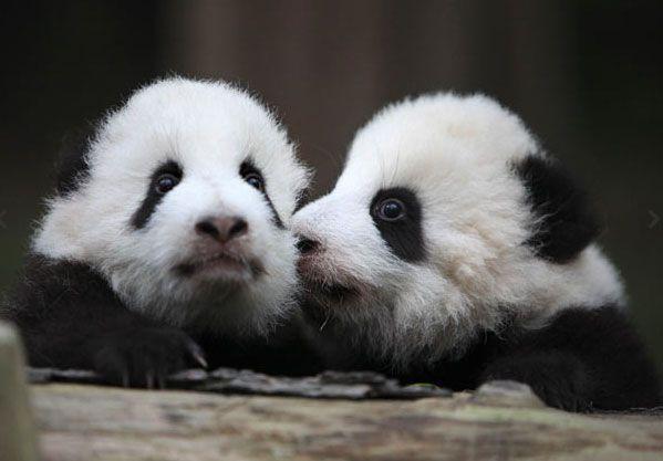 Детеныши гигантской панды в заповеднике для гигантских панд в Ченгду, провинция Сычуань, Китай.