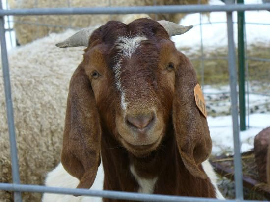 Goats: Why Having a Buck is a Great Idea!
