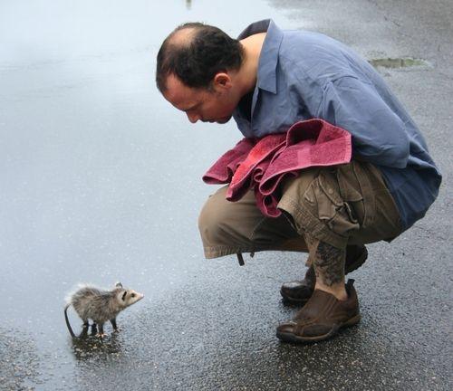 Good Samaritan taking a baby opossum off a roadway.
