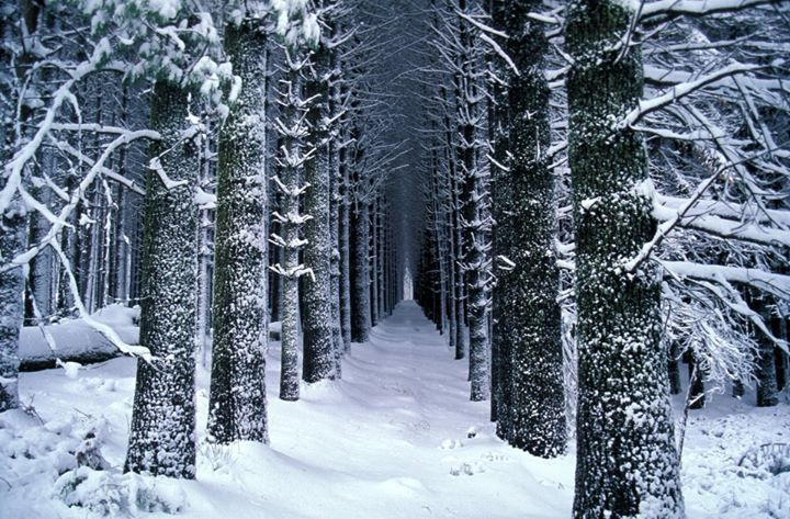 Sugar Pine Walk in winter in the Tumut Shire  One of NSW's best kept secrets