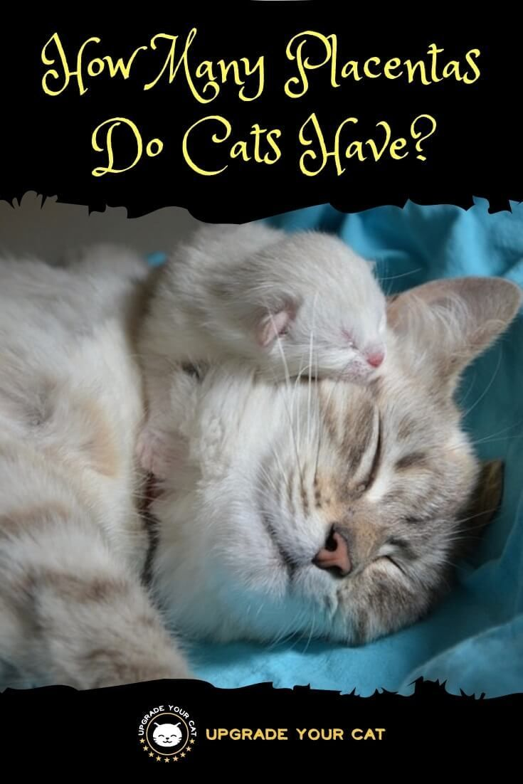 How Many Placentas Do Cats Have When They Re Born Upgrade Your Cat In 2020 Cat Health Pregnant Cat Pet Care Cats