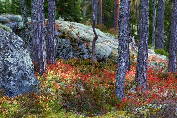 Red leaves by MiiaMatikkala #nature