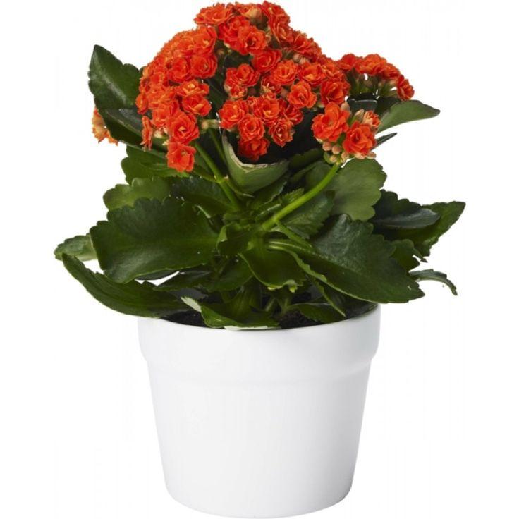 Våreld - Höstglöd, är en kompakt växt med stora, suckulenta, mörkgröna blad och täta klasar av upprättstående enkla eller fyllda blommor.