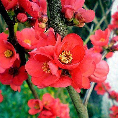 Chaenomeles sup. 'Crimson Gold' - Arboretum Garden Centre