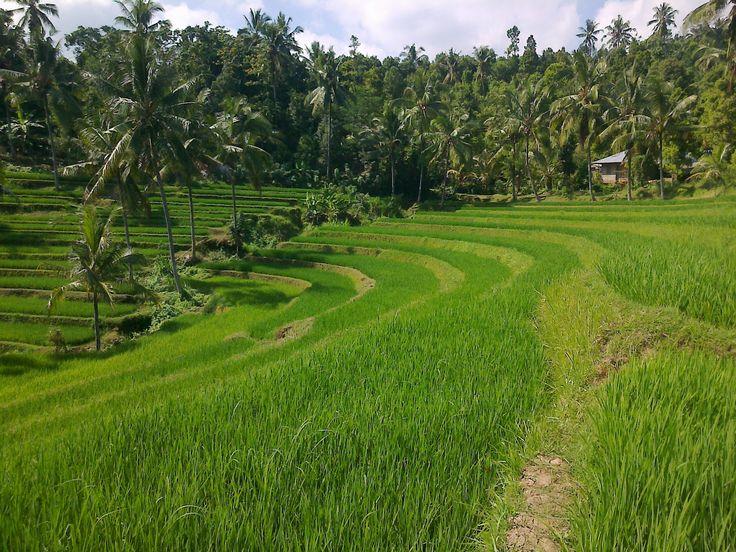 Bali, Buleleng - Panji : Exotic a view at rice field