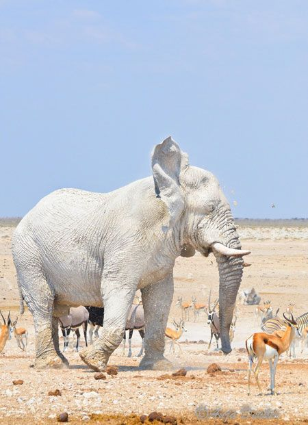 White elephant - The 'white ghosts' of Etosha can be observed frequenting the Nebrownii waterhole, where the dry white clay dusts their skin and coats the entire elephant in white – often brilliantly offset against the bright blue sky. From Africa Geography Blog