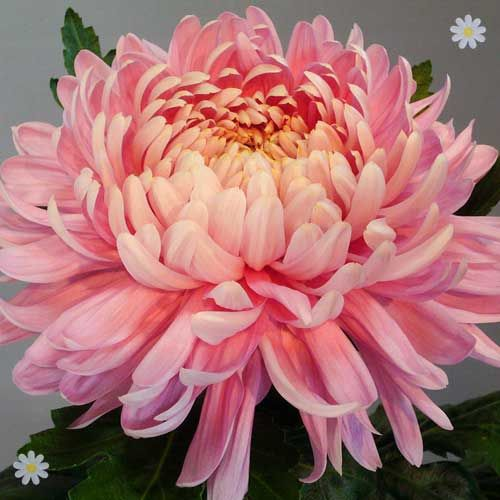 Chrysanthemum `Garden Bloom` Collection