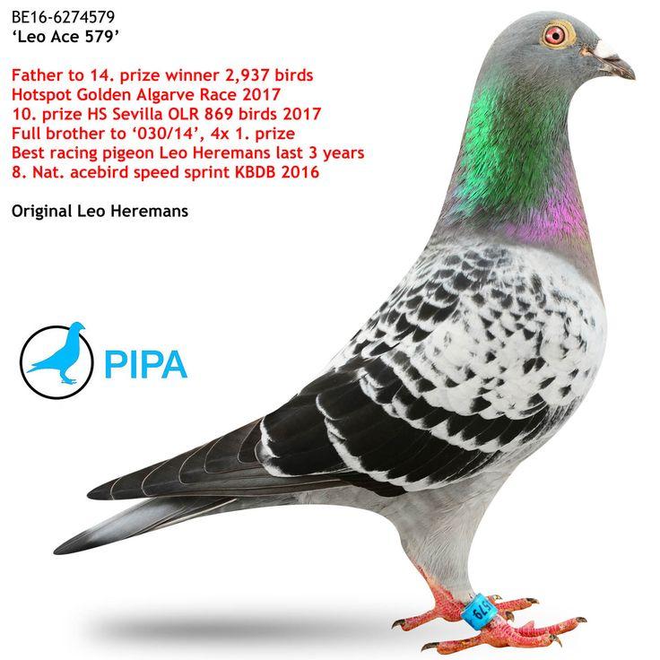 Leo Ace 579 | PIPA