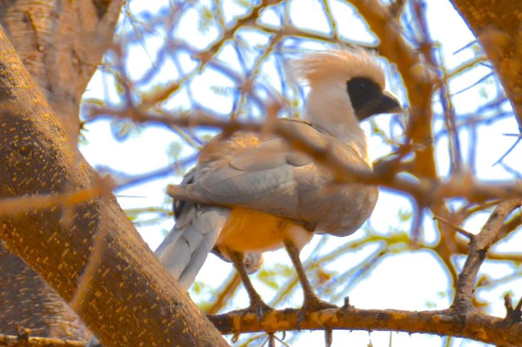 Bare-faced go-away bird in Ruaha, Tanzania. #BareFaceGoawayBird #RuahaNationalPark #TrekkingBureauet #HenryRasmussen