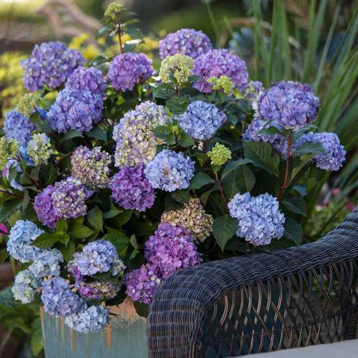 Hydrangea Bloomstruck® Endless Summer®