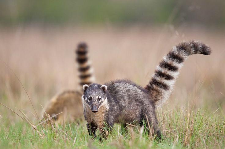 Ring Tailed Coati Pet