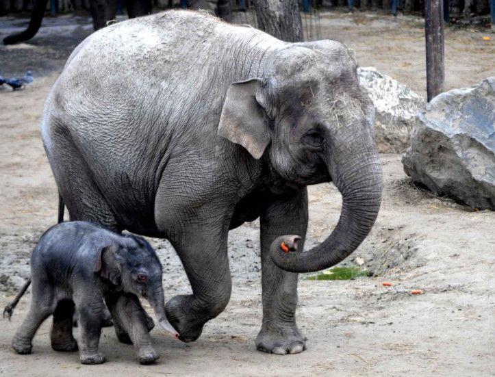 Petit éléphant âgé d'un jour marchant à côté de sa maman (originaire du zoo de La Palmyre en France), au zoo de Budapest (Hongrie).