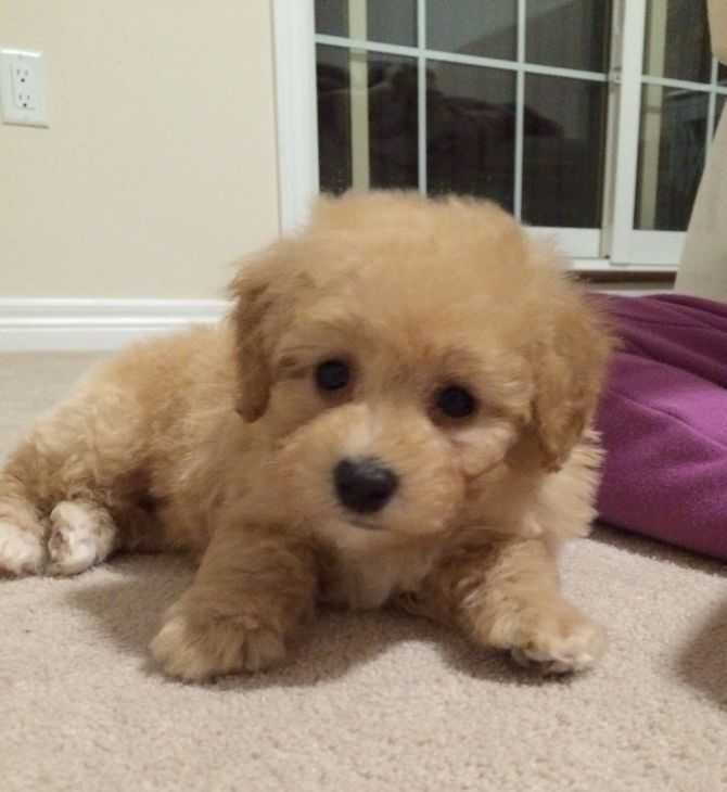 6 Ways to Care for a Toy Poodle - wikiHow