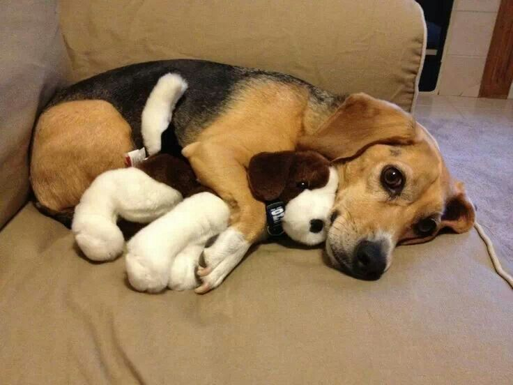 Beagle puppy with his toy beagle | Puppies Puppies Puppies ...