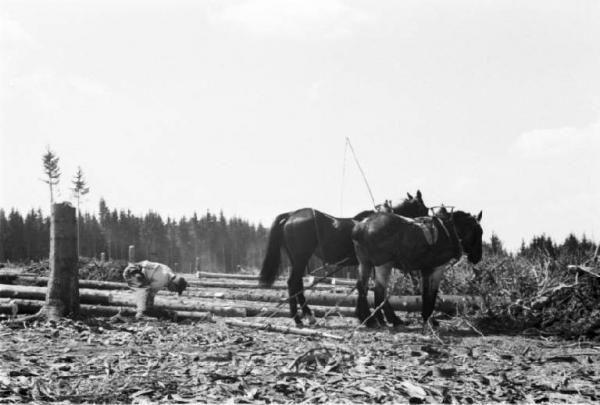 Internamento in Svizzera. Reiden: disboscamento della foresta, una radura e due cavalli adibiti al trasporto dei tronchi tagliati.