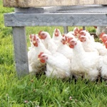 Free range chickens and turkeys in Manitoba at Prinsloo Pastures