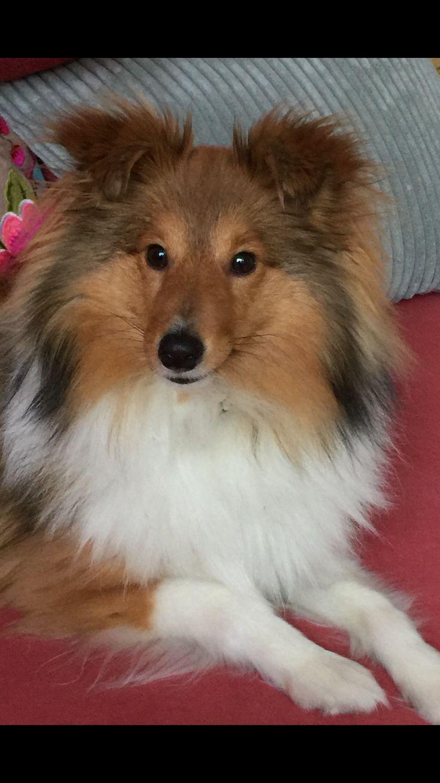 Onze Benji 10 maanden oud! #hulphond in opleiding