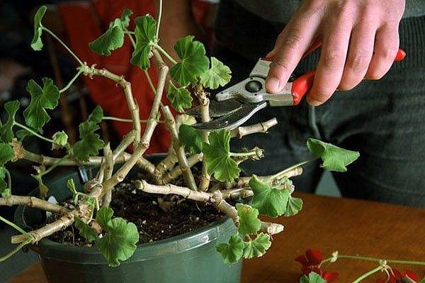 КАК ПРАВИЛЬНО ОБРЕЗАТЬ ГЕРАНЬ ДЛЯ ПЫШНОГО ЦВЕТЕНИЯ   Обрезка пеларгонии: основные правила  Чтобы правильно обрезать герань, нужно учитывать тип цветка. Она может быть многолетняя и однолетняя. Однолетнее растение обрезать не обязательно. Это следует делать только для изменения формы растения. Многолетняя пеларгония нуждается в обрезке 2 раза в год – весной и осенью. Обрезка не только декорирует внешний вид, она способствует зарождению большого количества крупных соцветий и увеличивает…