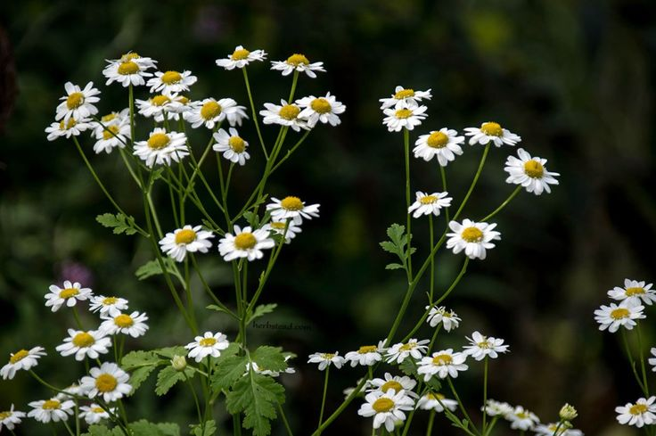 Feverfew flowers have analgesic, anti-inflammatory, febrifuge and emmenogogue properties. It is a classic herb used for migraine.