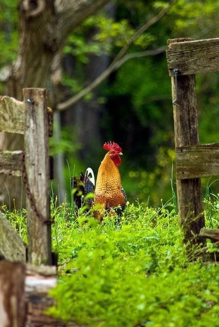 Beautiful looking rooster!