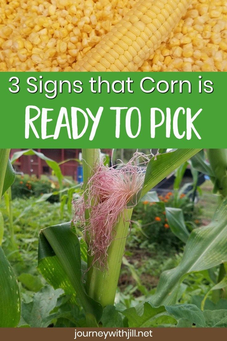 When To Harvest Sweet Corn The Beginner S Garden Growing Corn When To Harvest Corn Harvest Corn