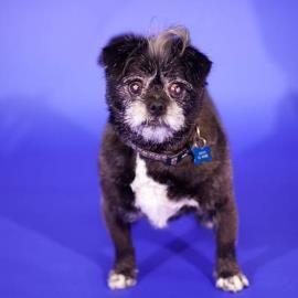 Meet Pippi, a Petfinder adoptable Affenpinscher Dog | Denver, CO | My name is Pippi, and I am a very sweet Affenpinscher mix. I am easygoing and friendly. I enjoy a...