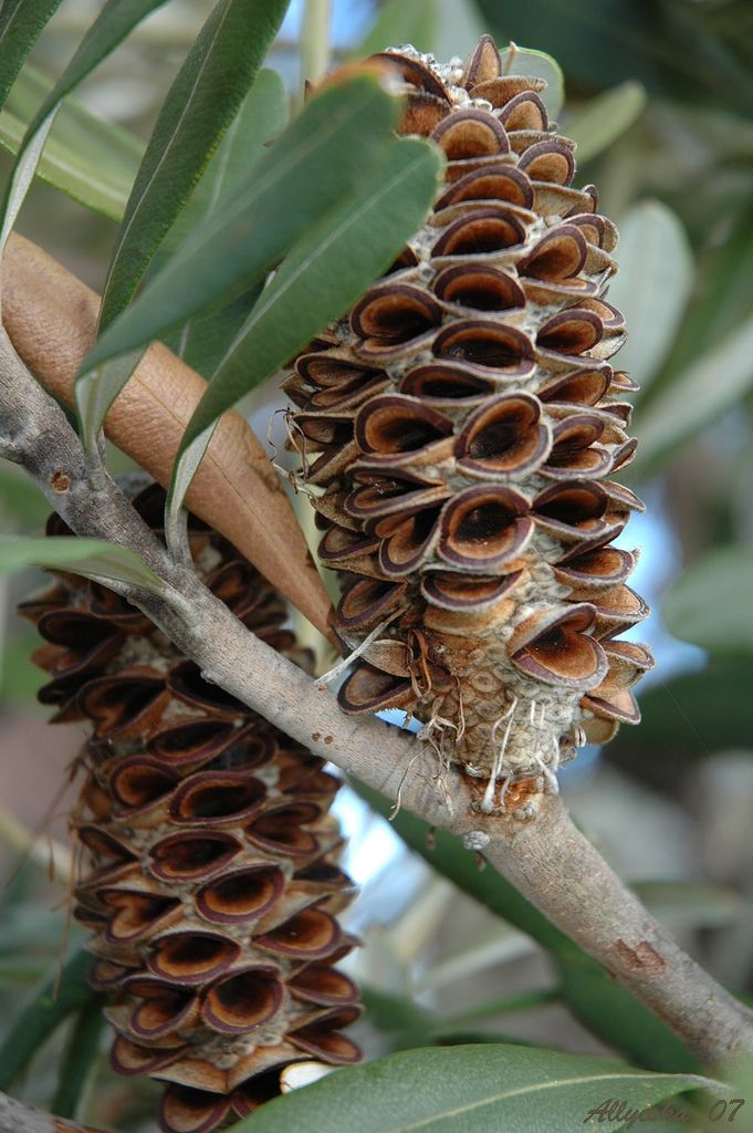 Banksia Integrifolia cone: Australian flower