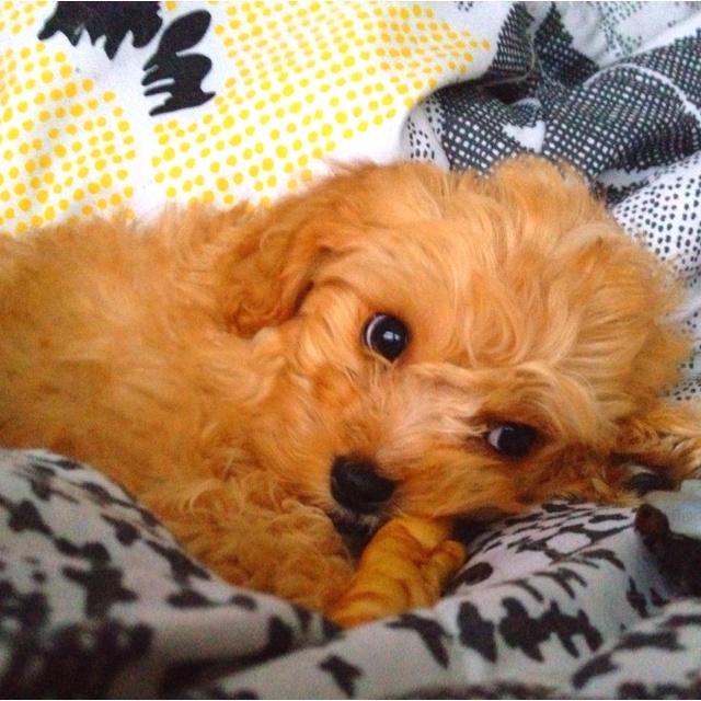 Puppyfinder.com: Cavapoo puppies puppies for sale near me New York USA