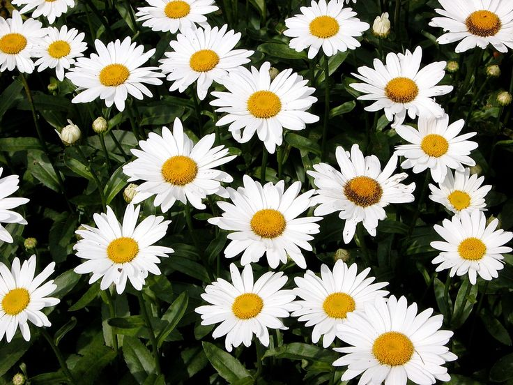 The Daisy Flower Has An Amazing Secret. Now That&#39-s Clever.