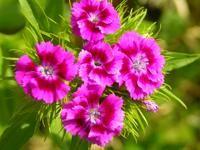 Oeillet à floraison double. Exposition mi-ombre/soleil, floraison mai-septembre. Hauteur 20-80 cm. Jardiland : 3 pots à 5€