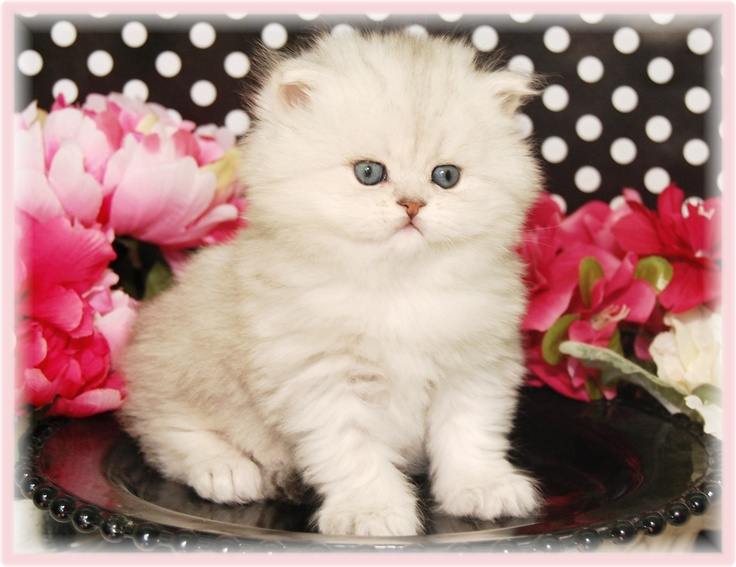 Silver Dolls CatteryTeacup Kittens for sale Kittens