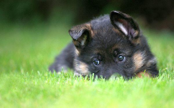42 photos de bergers allemands qui vont vous donner envie d'en adopter un - Animaaaaals