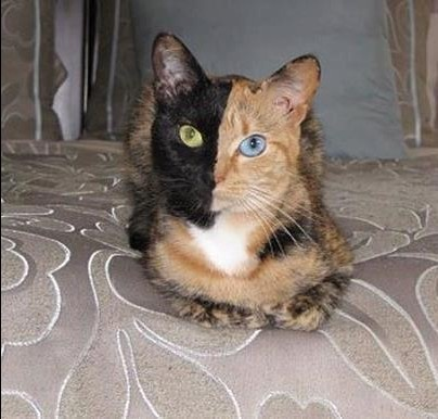 Meet chimera cat. Chimera cat is one individual organism, but genetically its own fraternal twin. A chimera is typically formed from four parent cells (either two fertilized egg...s, or two early embryos that have fused together). The resulting animal is a mixture of tissues and can look like this gorgeous (but bizarre) kitty. She also has complete heterochromia, a condition when the eyes are different colours.: Two Faces, Cat Eye, Fraternity Twin, Eye Colors, Amazing Pics, Chimera Cat, Dark Side, Difference Colors Eye, Cat Videos