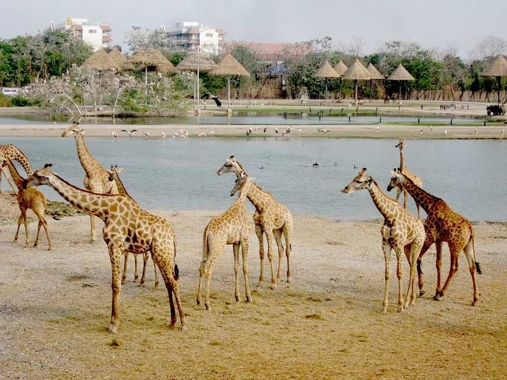 Giraffe Gallery, Images, Pics, Photos, Pictures, Photography