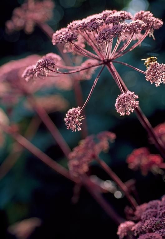 Angelica sylvestris purpurea, 'Vicar's Mead' Seeds £2.25 from Chiltern Seeds - Chiltern Seeds Secure Online Seed Catalogue and Shop