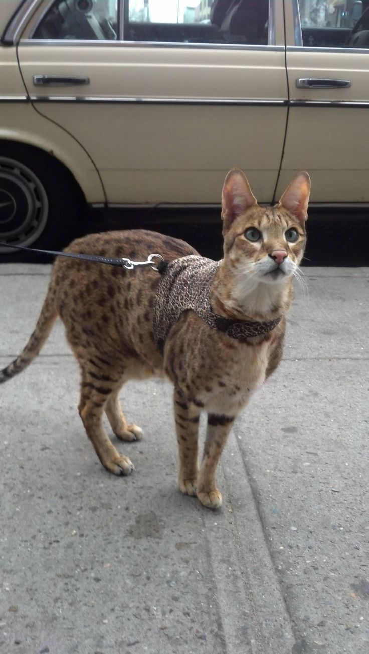 Savannah cat on a leash. People have these for pets. Theyr'e the size of dogs.