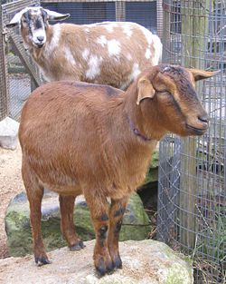 All about pygmy goats - I want two nannies!