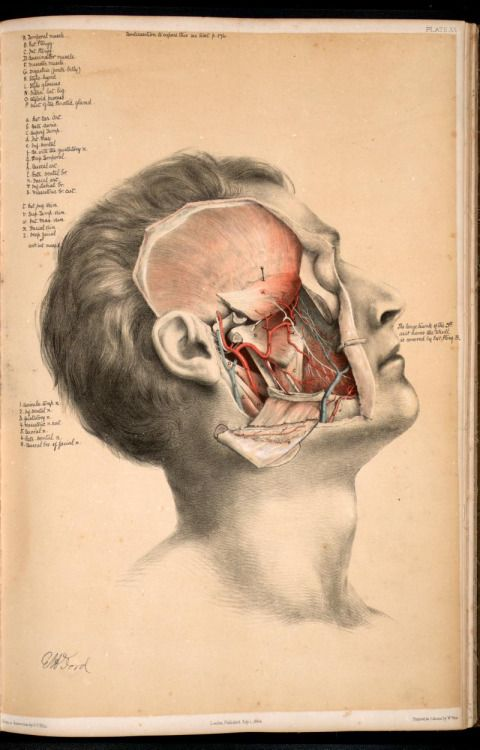 Dissection of the face, masticatory muscles, blood vessels and nerves. George Henry Ford, 1864.